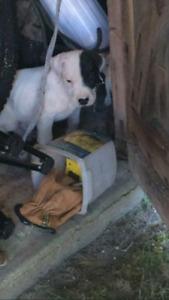 Dogo argentino purebreed ukc registard