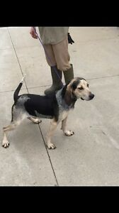 Linus is a stunning 2 year old, male, Bluetick