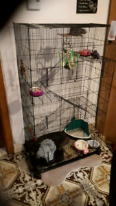 Two 10 mth old female Russian blue rats with 4 storey cage