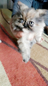 Brown Marble Female Persian Kitten