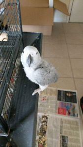 African Grey Baby (6 months old) + cage + 40lb food bag