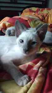 chatons siamoisBlue point