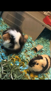 Adult Male Guinea Pigs With HUGE C&C Cage + ALL Accesories