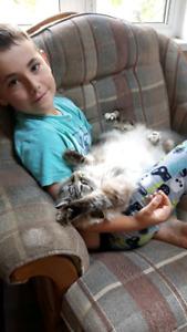 Chatte Sibérienne opérée de 6 ans
