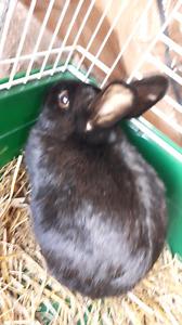 Dwarf bunny male