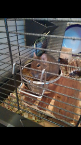Degu - 2 year old female 60$ OBO