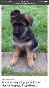 LF German Shepherd puppy
