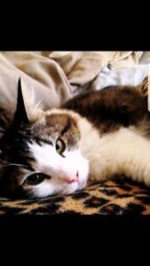 Tabby Tigré blanc 5 ans