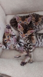 Super cute bengal cats