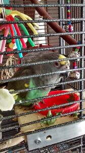 Meyer Parrot with Cage and Toys