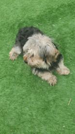Jack russell cross yorkshire terrier girl
