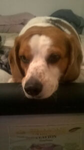 Lost beagle in Aylmer on March 22