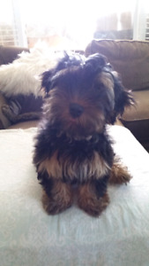 Yorkie Puppy looking for new home