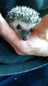 Hedgehog babies for sale!