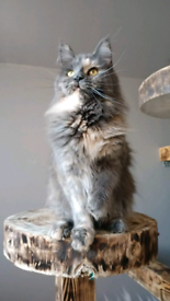 Russian Maine Coons