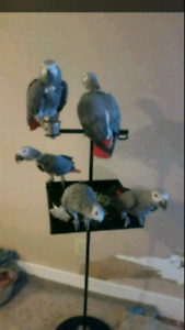 Breeding pair of CONGO African grey for sale