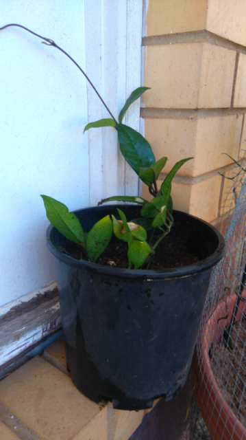 Hoya Plant Plants Gumtree Australia Salisbury Area Salisbury
