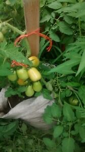 organic non gmo tomato plants grown from home made manure