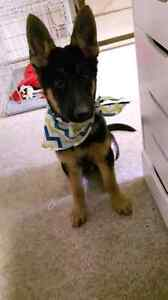 King Shepherd for sale. Need a new home ASAP