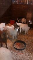 End of season livestock sell off