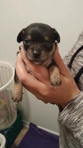 *** Magnifique petits chihuahua à vendre ** Gatineau Ottawa / Gatineau Area image 3