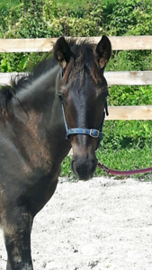 Friesian sport horse for sale.