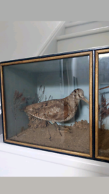 Antique taxidermy birds pair of woodcocks