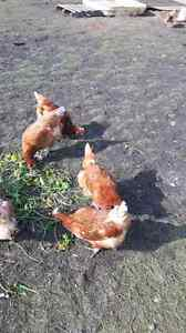 Chickens for sale.