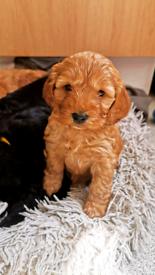 Miniature F1 cockapoo puppies GIRLS LEFT