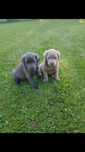 Silver charcoal and white lab pups ready for easter