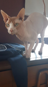 Male Sphynx 2 yrs looking for loving family