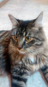 Young neutered male cat