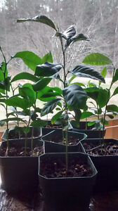 Lemon plants- ready to be repotted