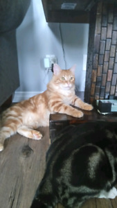 3 year old male orange Long hair cat named Simba is missing