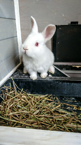 Pure Bred New Zealand Rabbits