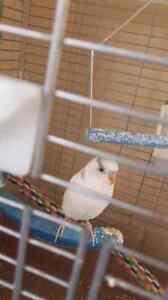 White budgie female