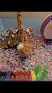 Syrian hamster 6months old