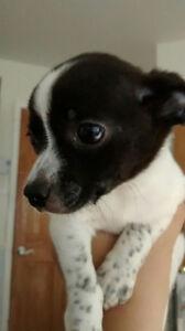 beau chiot mâle Chihuahua noir blanc et pattes tachetés de merle