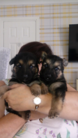 Puppies | Dogs & Puppies for Sale - Gumtree