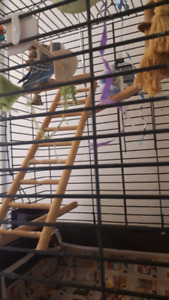 2 parakeets me and female