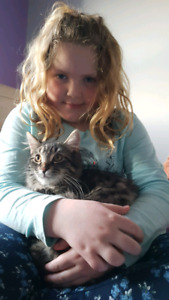 5 month old Male medium hair tabby looking for home