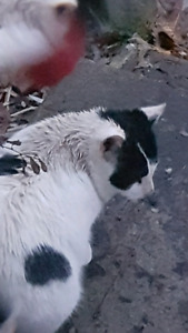 Friendly white and black cat found in Doon