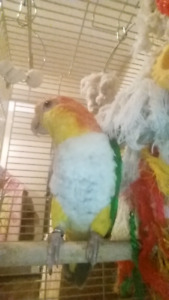 White belly Caique for sale