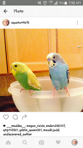 2 Budgies with Cage and Accessories to Good Home