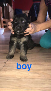 german shepherd  puppies for sale to good homes
