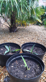 Small Agave Plants - 3 available