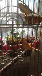 4 canaries for sale