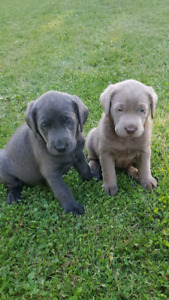 Silver charcoal black and chocolate lab pups