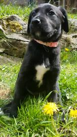 Beautiful Labrador x lurcher pups
