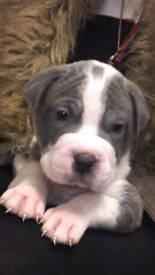 Blue staff X rare BLUE BEARCOAT sharpei puppies for sale